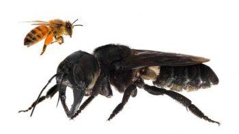 Encuentran a la abeja más grande del mundo
