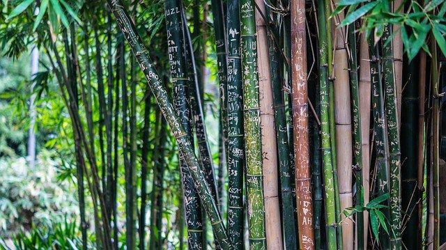 cultivo de bambú