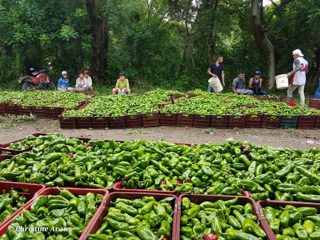 producción de chiltomas en isla de ometepe
