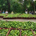 Exitosa Producción de Chiltomas en la Isla de Ometepe