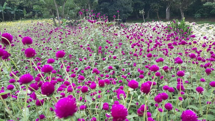Productores de flores listos para abastecer mercados este 2 de noviembre